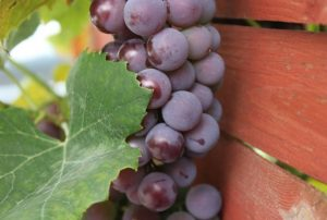 grapeseed oil health benefits